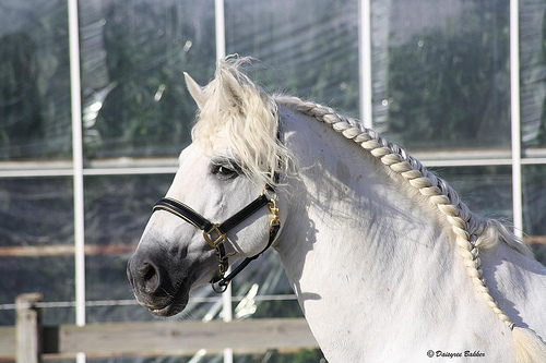 Koń andaluzyjski